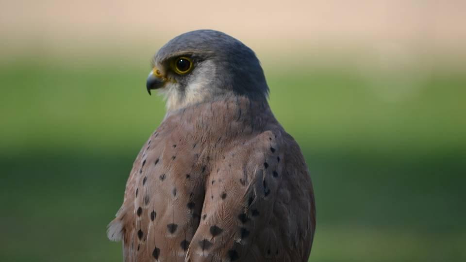 Cernícalo primilaa (Falco naumanni). Especie incluida en el Anexo I de la Directiva Aves