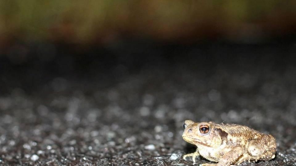 Bufo spinosus cruzando una carretera. Fotografía de José Carlos Carballo González
