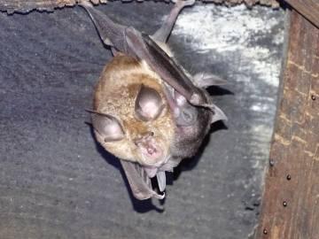 Rhinolophus ferrumequinum en un refugio de cría