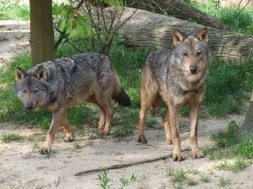 Breves Monografías sobre el Medio Natural del NW de España (III): El Lobo ibérico (Canis lupus signatus)