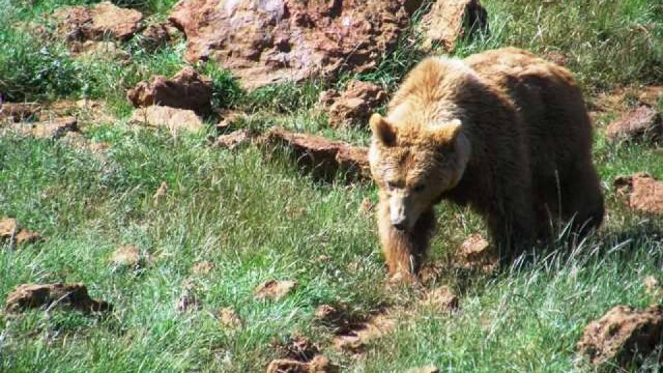 Breves Monografías sobre el Medio Natural del NW de España (V): El Oso pardo europeo (Ursus arctos arctos)