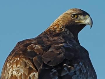 El Águila real vuelve a Galicia (Foto: Juan Lacruz)