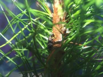 Hylobius abietis alimentándose de la corteza de un Pinus pinaster