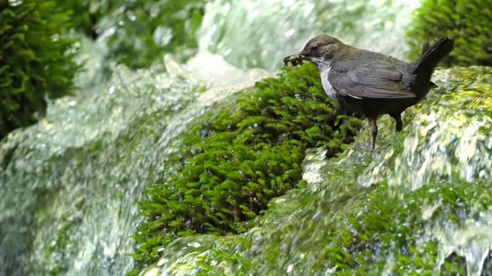 Cinclus cinclus, también conocido como mirlo acuático europeo