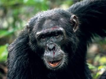 Macho de Chimpancé común (Pan troglodytes)